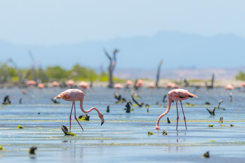 Flamingo in Margarita Island