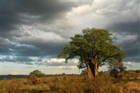 Copac Baobab
