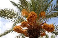 Date Palm - sursa de hrana a localnicilor timp de foarte multi ani