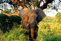 Elefant in Kruger Park