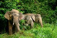 Elefanti Pygmy