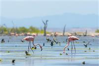 Flamingo in Margarita Island