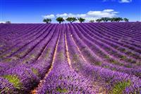 Plantatie de lavanda in Provence