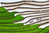 Terase de orez, Ubud