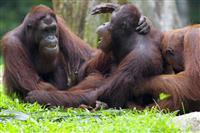 Urangutani in Borneo