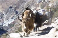 Yak - Himalaya Nepal